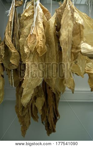 Tobacco leaves air curing drying in a closet being used as a tobacco kiln