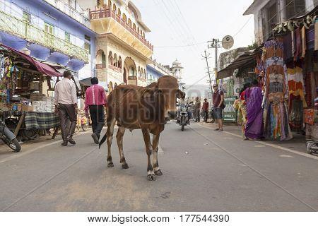 PUSHKAR INDIA-OCT 29 : stray ox in marketplace at Pushkar on october29 2014 india