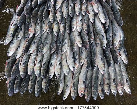 Grey Mullet Fish For Sale At The Fish Market