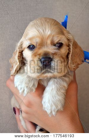 Puppy of American cocker spaniel on hands