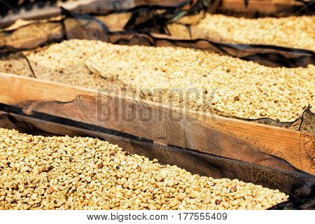Fresh crop of arabica coffee beans drying in the sun on wooden pallets. Shallow depth of field.