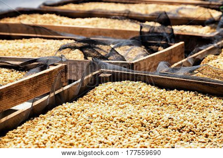 Coffee Beans Drying In The Sun On Wooden Pallets