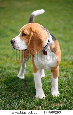 Portrait of a beagle dog on leash