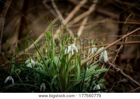 First spring flowers snowdrops and dry grass in forest