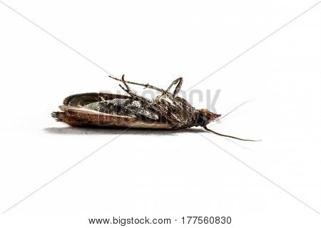 Brown dead cloth moth isolated on white background macro photography