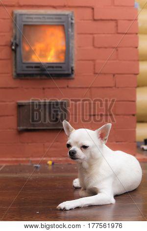 white Chihuahua heated by a home stone furnace
