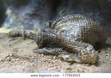snake slough after snake moulting sloughing shedding on the ground