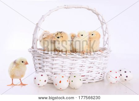 cute little chicks and easter eggs