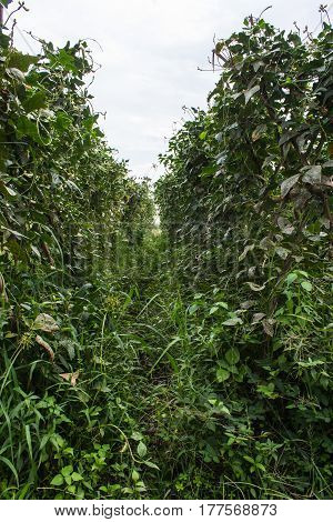 lentils garden in Thailand , agriculture asia