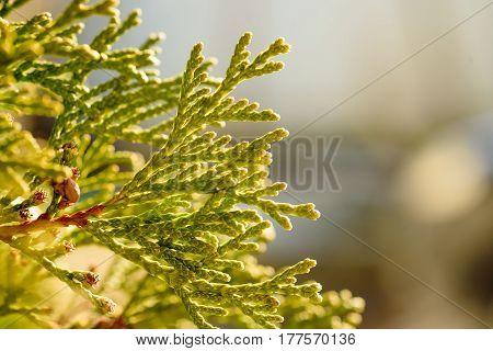 needles of a green fir-tree, close up, macro