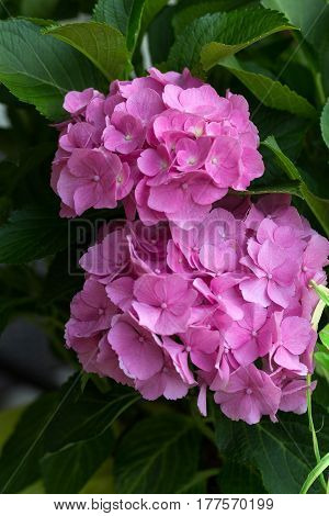 Close up of beauty  pink hortensia flower