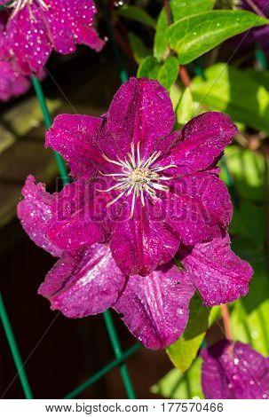 Beautiful purple flowers of clematis in garden