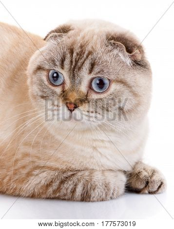 lop-eared scottish cat . isolated on white background