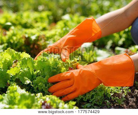 Woman in orange gloves working in the garden.
