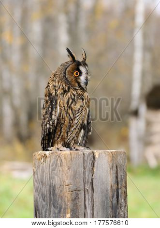 The young Euroasian eagle owl sits on a stub