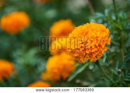 close up Beautiful marigold flowers in garden