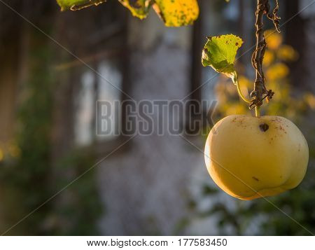 Juicy yellow worm-eaten apple hanging on a branch with wooden cottages in the Podlasie countryside in a background