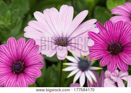 Gerbera Daisy Flowers In A Summer Garden