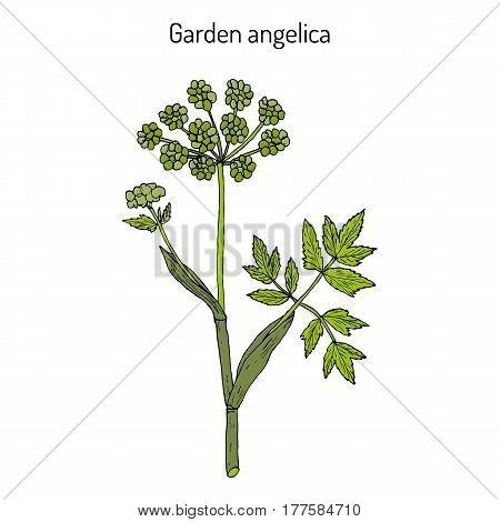 Garden Angelica Angelica Archangelica , Or Wild Celery