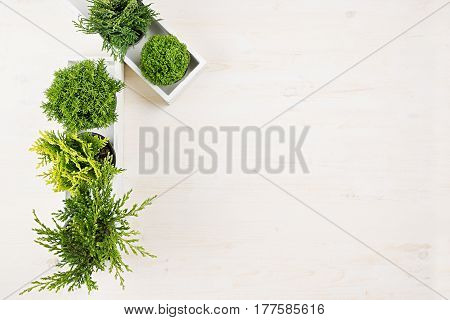 Modern interior with green young conifer plants in white box on beige wood board background with copy space top view.