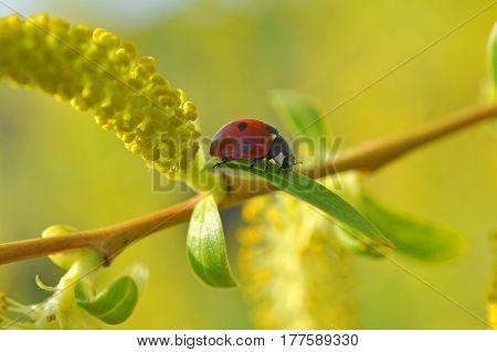 Ladybug on wild yellow flower in spring. Ladybug close-up