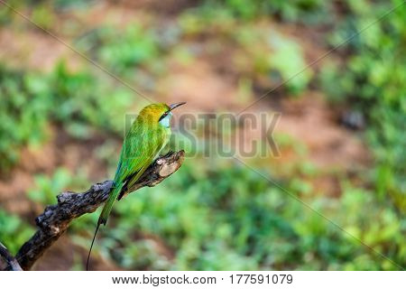 Close up of green bee-eater or Merops orientalis sitting on branch in Sri Lanka