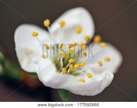 Blossoming branch with flower of apple, springtime