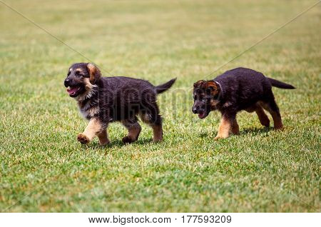 german shepherd puppies running on the grass at the dog show