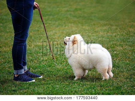 fluffy white puppy Alabai walks for dog show