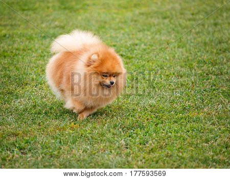 Spitz dog on a dog show walking