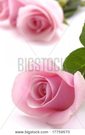 Beautiful pink roses on white