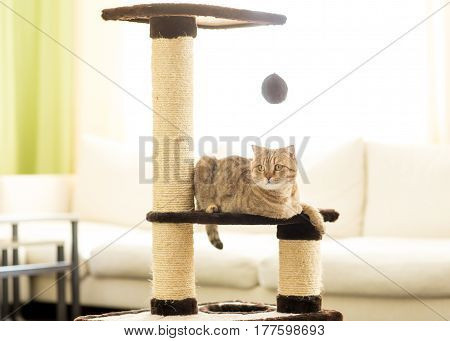 Cat scottish fold lying on a scratching post, on a living room background.