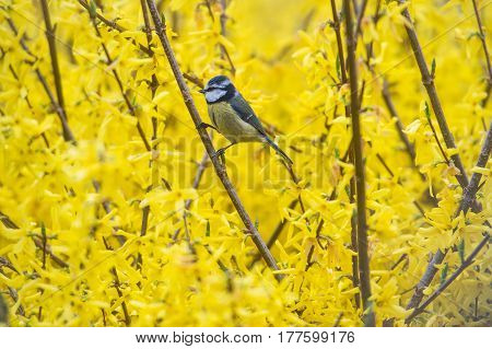 Tit blue mansion in winter eating seeds and fat in garden on yellow background