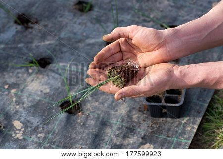 Farmhand Transplanting Leek Seedlings