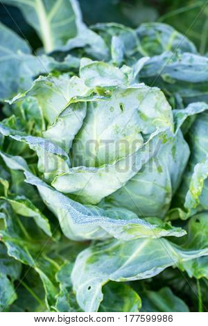 Head of cabbage damaged by pests, caterpillars. Studio Photo