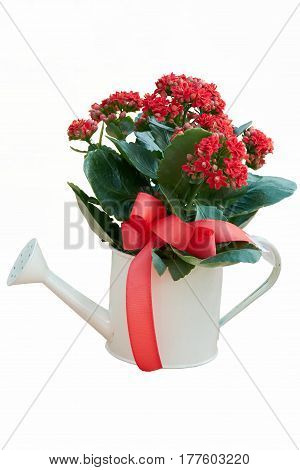 red begonia in a pot shaped watering can for gift and present