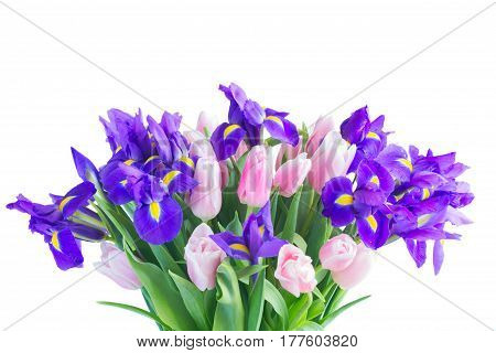 Bunch of blue irises and pik tulips clos eup isolated on white background