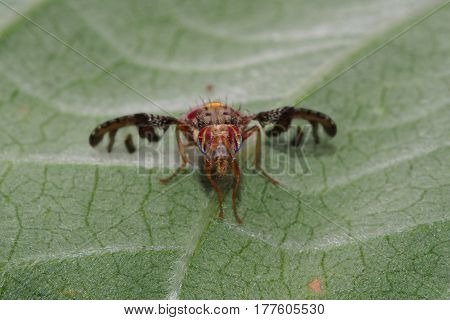 Macro photo of a Mauritius hoverfly resting on leaf