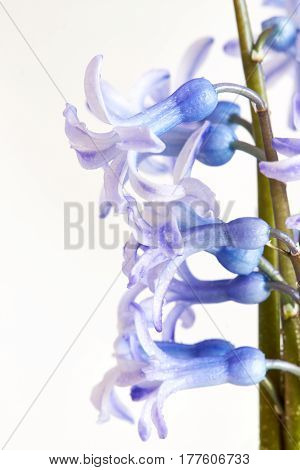 Several hyacinth flowers on white background. Copy space