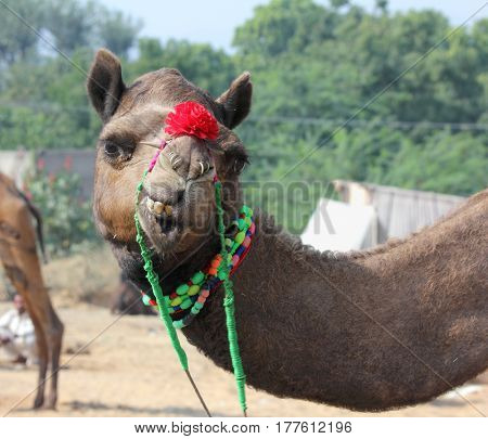 Pushkar Camel Fair - funny camel during festival in Pushkar India