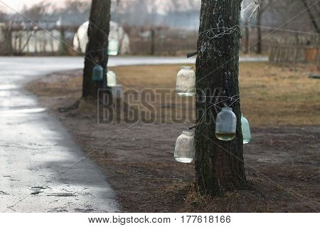 Early Spring. Collection Of Birch Sap In Glass Jars
