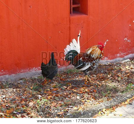 A multi colored rooster and black hen