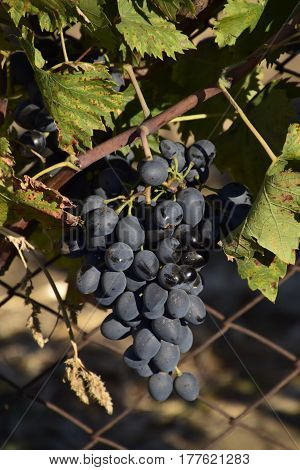 The Grape Gardens. Cultivation Of Wine Grapes At The Sea Of Azov