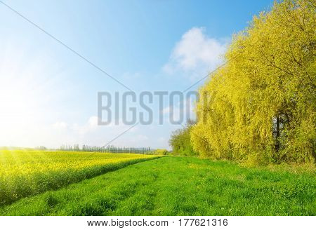 Spring landscape with rapeseed field in sunny day.