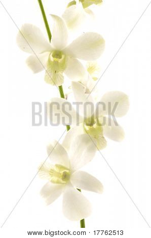Close up of a white orchid