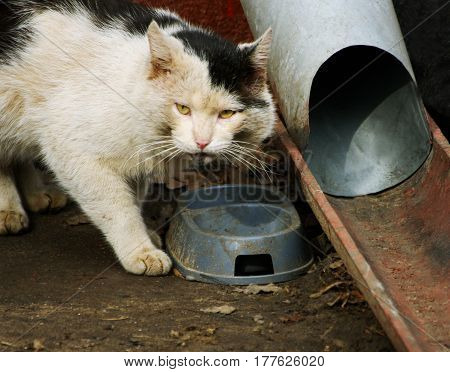 Homeless cat. Big dirty white with black spots cat stands near the dirty bowls and downpipes.
