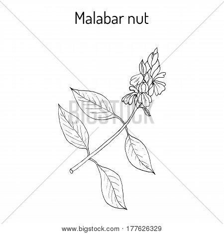 Malabar Nut Justicia Adhatoda , Or Adulsa, Adhatoda, Vasa, Or Vasaka, Medicinal Plant
