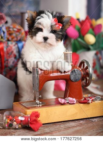 beaver puppy and a sewing machine, a tailor