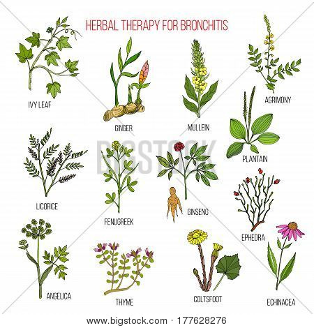 Herbal Therapy For Bronchitis Ivy, Ginger, Mullein, Agrimony, Licorice, Fenugreek, Ginseng, Ephedra,
