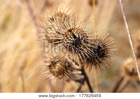 Burdock is waiting for a host in March